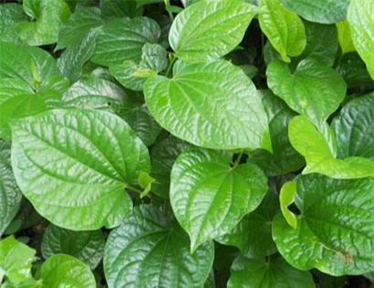 Lá lốt là loài cây dễ trồng và là một lcó tác dụng mạnh đối với nhiều loại vi khuẩn gây bệnh.