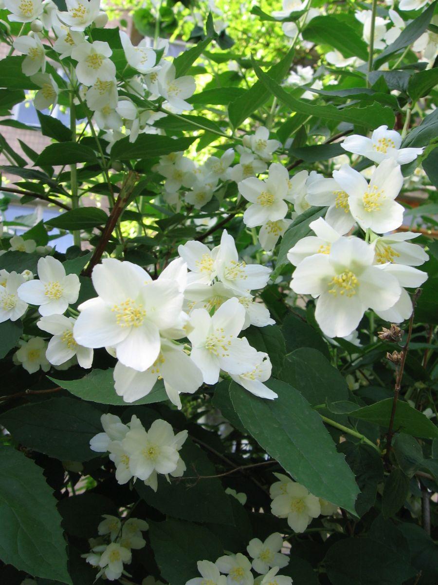 Bài thuốc chữa bệnh từ hoa nhài